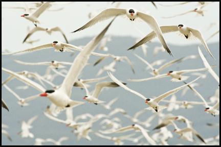 Caspian Terns ©2009 Erin Feinblatt