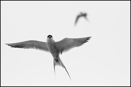 Forester's Tern ©2009 Erin Feinblatt