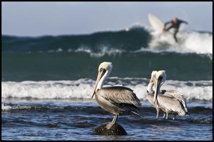 Pelicans ©2009 Erin Feinblatt