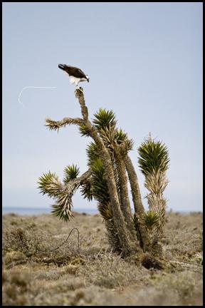 Osprey ©2009 Erin Feinblatt