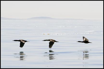 Cormorant ©2009 Erin Feinblatt
