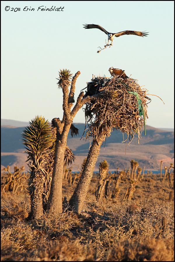 Osprey nest with plastic
